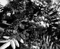 Berries on Cleasby Road