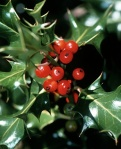 photo of holly with berries